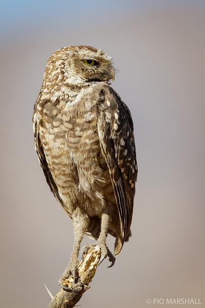 Pequén    Athene cunicularia     Burrowing Owl