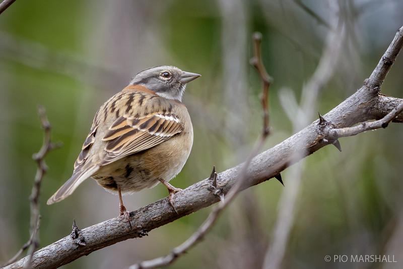 Chincol   Zonotrichia capensis   Rufous-collared Sparrow