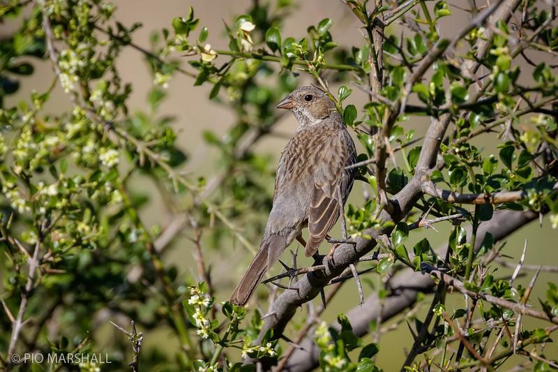 Yal común | Phrygilus fruticeti | Mourning Sierra Finch