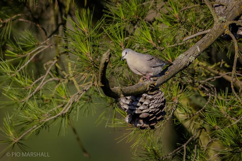 Tortolita cuyana    Columbina picui     Picui Ground Dove