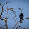 Mirlo común |  Molothrus bonariensis  |  Shiny Cowbird