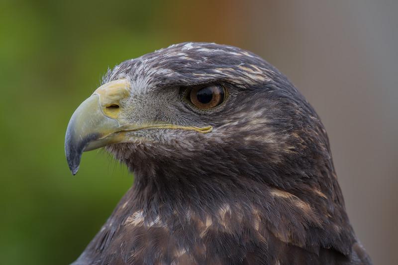 Águila   Geranoaetus melanoleucus   Black-chested Buzzard-Eagle