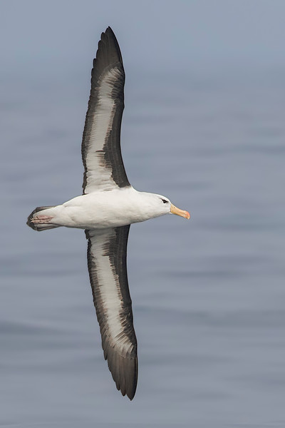 Albatros de ceja negra   Thalassarche melanophris   Black-browed Albatross