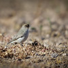 Dormilona tontita | Muscisaxicola maclovianus | Dark-faced Ground-Tyrant
