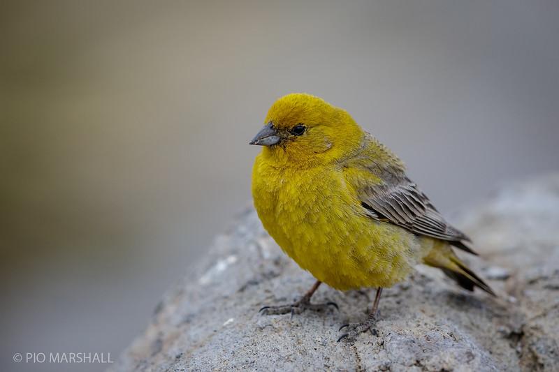 Chirihue dorado    Sicalis auriventris     Greater Yellow-Finch