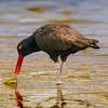 Pilpilén negro | Haematopus ater | Blackish Oystercatcher
