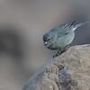 Pájaro plomo | Geospizopsis unicolor | Plumbeous sierra finch
