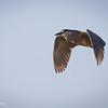 Huairavo común |  Nycticorax nycticorax  |  Black-crowned Night-Heron