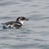 Yunco de Humboldt | Pelecanoides garnotii | Peruvian Diving-Petrel