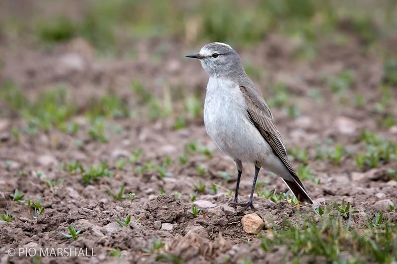 Dormilona fraile    Muscisaxicola flavinucha     Ochre-naped Ground-Tyrant