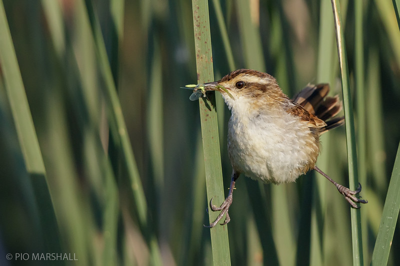 Trabajador    Phleocryptes melanops     Wren-like Rushbird