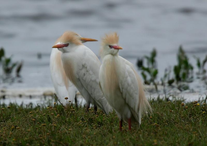 Garza bueyera   Bubulcus ibis   Cattle Egret