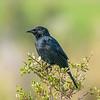 Tordo | Curaeus curaeus | Austral Blackbird