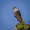 Cernícalo |  Falco sparverius  |  American Kestrel