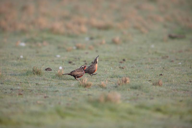 Loica común | Sturnella loyca | Long-tailed Meadowlark