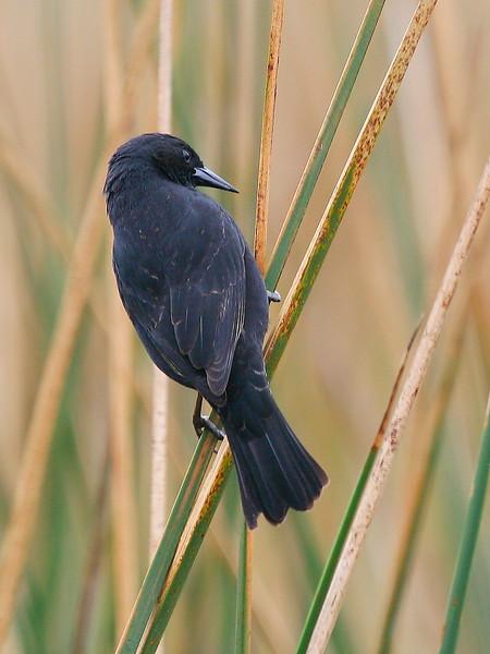 Trile   Agelasticus thilius   Yellow-winged Blackbird