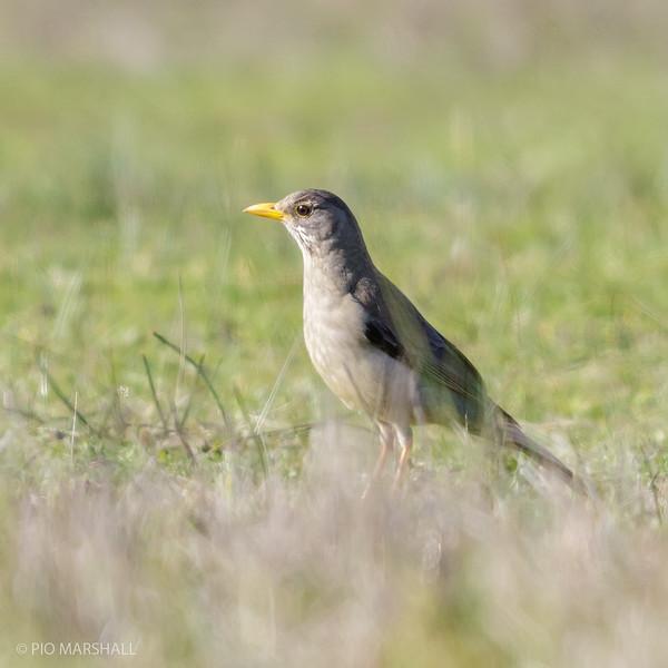 Zorzal patagónico | Turdus falcklandii | Austral Thrush