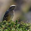 Tenca chilena |  Mimus thenca  |  Chilean Mockingbird