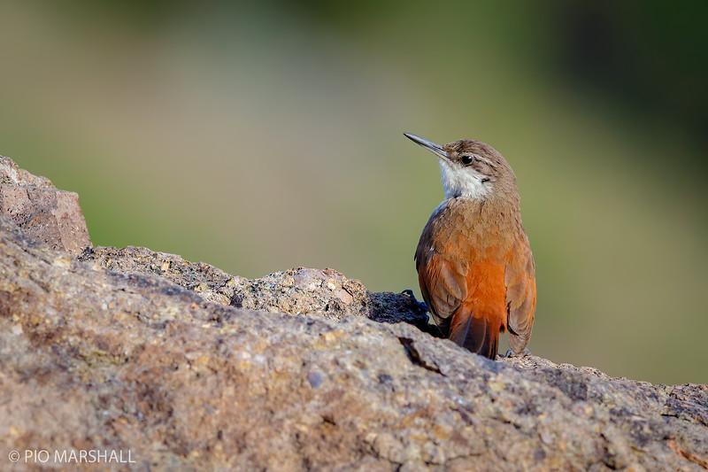 Chiricoca |  Ochetorhynchus melanurus  |  Crag Chilia