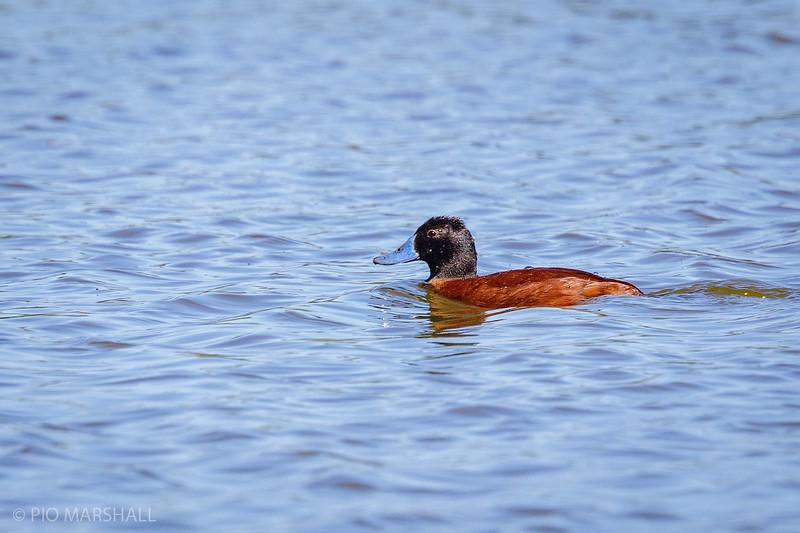 Pato rana de pico delgado    Oxyura vittata     Lake Duck
