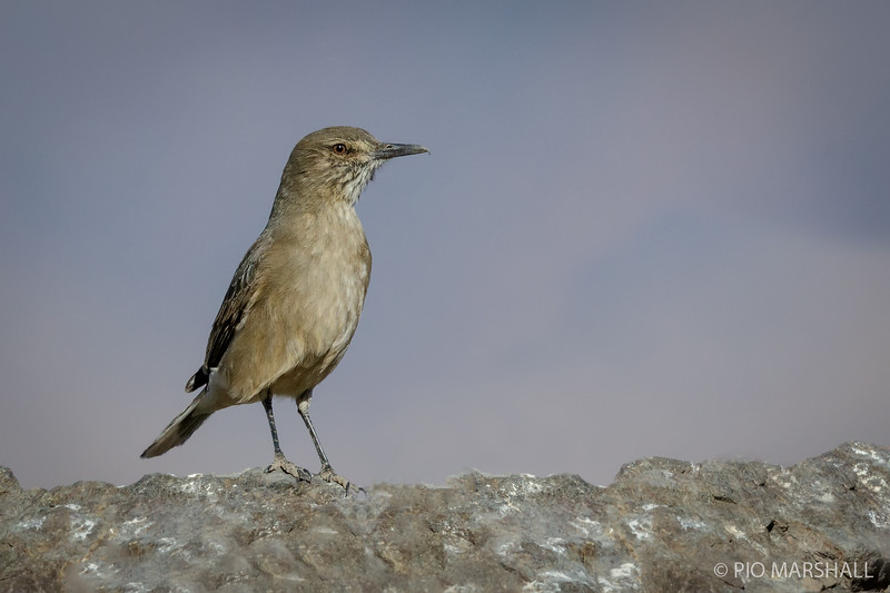 Mero gaucho   Agriornis montanus   Black-billed Shrike-Tyrant