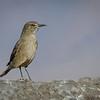 Mero gaucho | Agriornis montanus | Black-billed Shrike-Tyrant