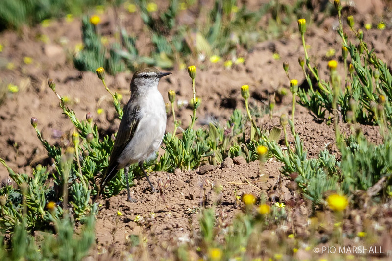 Dormilona de ceja blanca |  Muscisaxicola albilora  |  White-browed Ground-Tyrant