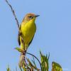 Pájaro amarillo | Pseudocolopteryx citreola | Ticking Doradito
