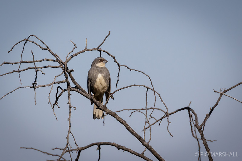 Diuca común   Diuca diuca   Common Diuca-Finch