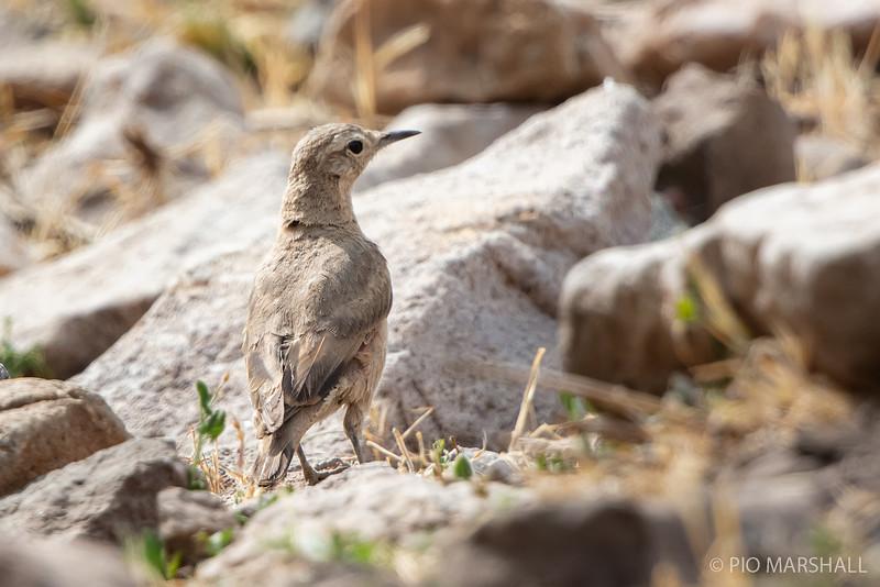 Minero cordillerano    Geositta rufipennis     Rufous-banded Miner