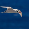 Ave del trópico de cola roja | Phaethon rubricauda | Red-tailed Tropicbird