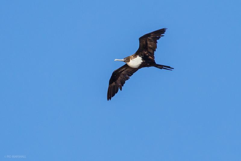 Ave fragata grande   Fregata minor   Great Frigatebird