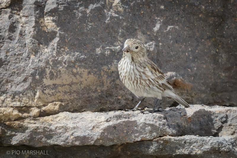 Yal cordillerano    Melanodera xanthogramma     Yellow-bridled Finch