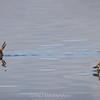 Pato rana de pico delgado |  Oxyura vittata  |  Lake Duck