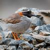 Chorlito cordillerano |  Phegornis mitchellii  |  Diademed Sandpiper-Plover