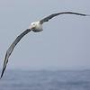 Albatros real del norte | Diomedea epomophora sanfordi | Royal Albatross
