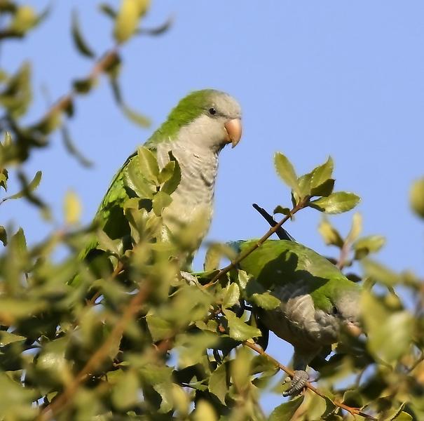 Cotorra   Myiopsitta monachus   Monk Parakeet