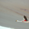 Parina chica | Phoenicoparrus jamesi | James's Flamingo