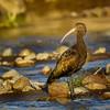 Cuervo de pantano de la puna | Plegadis ridgwayi | Puna Ibis