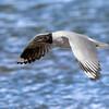 Gaviota andina | Chroicocephalus serranus | Andean Gull