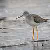 Pitotoy grande |  Tringa melanoleuca  |  Greater Yellowlegs