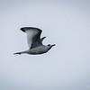 Gaviota de las Galápagos |  Creagrus furcatus  |  Swallow-tailed Gull