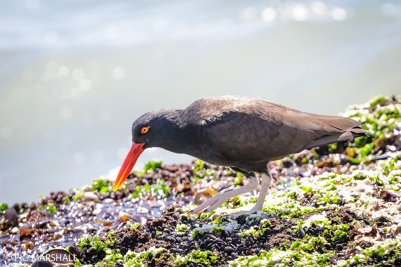 Pilpilén negro |  Haematopus ater  |  Blackish Oystercatcher O