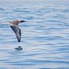 Piquero de patas azules | Sula nebouxii | Blue-footed Booby