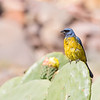 Naranjero | Pipraeidea bonariensis | Blue-and-yellow Tanager