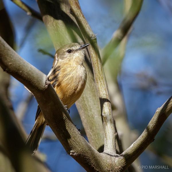Cazamoscas de pico chato    Myiophobus fasciatus     Bran-colored Flycatcher