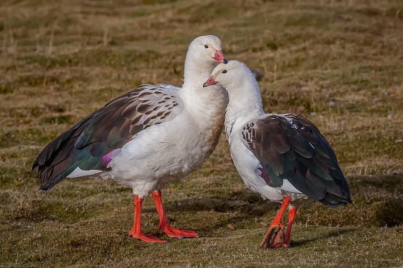 Piuquén   Oressochen melanopterus   Andean Goose