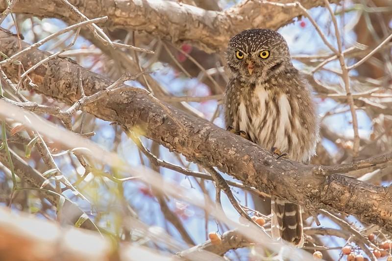 Chuncho del norte | Glaucidium peruanum | Peruvian Pygmy-Owl