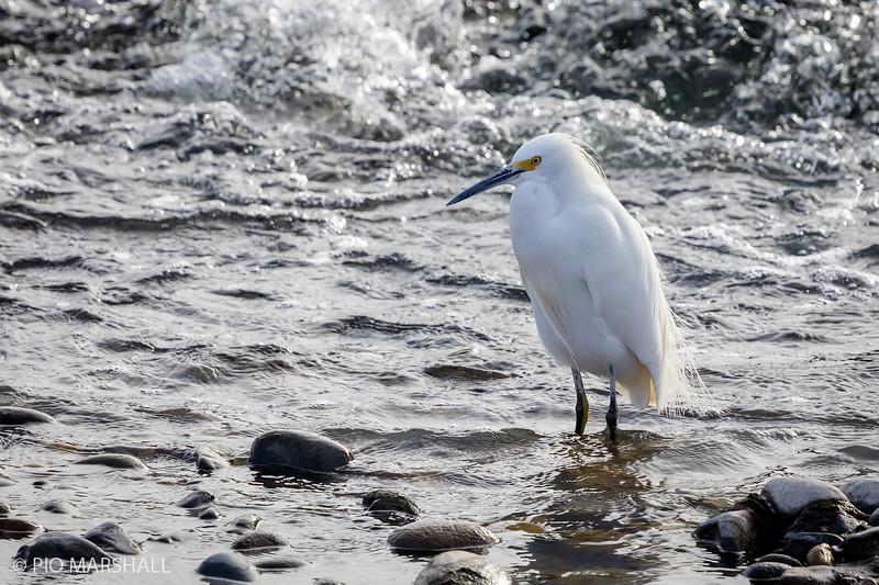 Garza chica |  Egretta thula  |  Snowy Egret