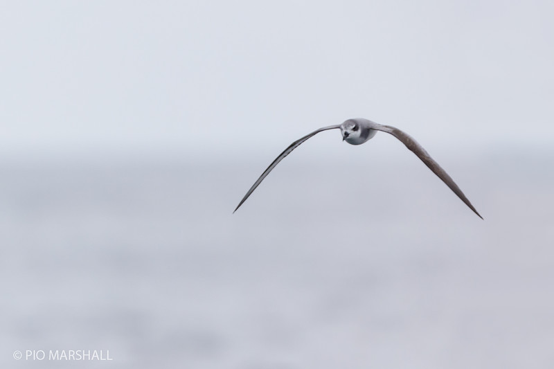 Petrel de Masatierra |  Pterodroma defilippiana  |  Masatierra Petrel
